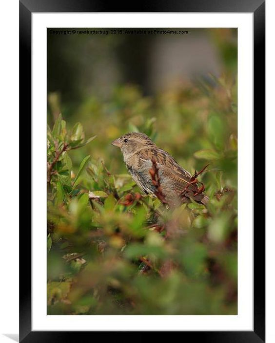 #Dunnock canvas print for sale by rawshutterbug CLICK: http://buff.ly/1NIbfWc #deco #home
