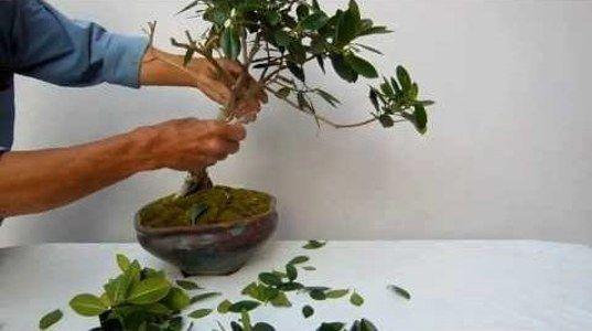 Cuidados Y Poda Del Bonsái Naranjo Bonsai Plants Ficus