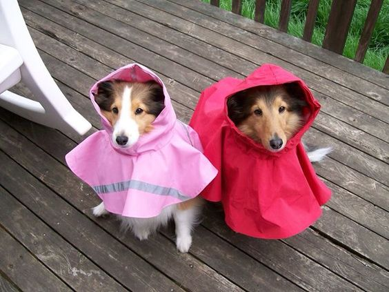 Sheltie Sibs rocking their new raincoats!