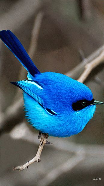 Animaux oiseaux and bleu on pinterest for Petit oiseau avec houpette