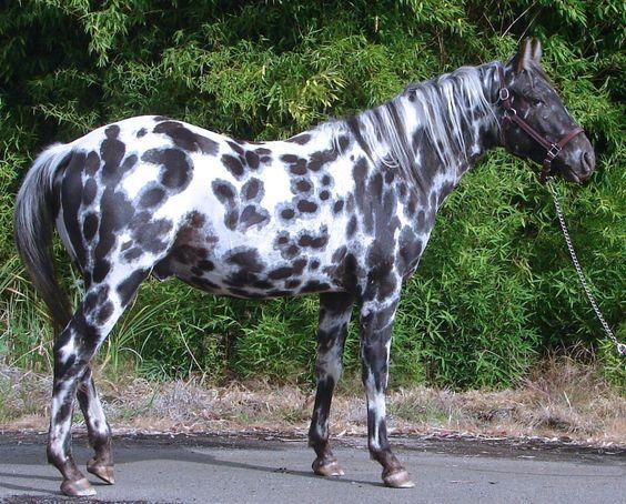 leopard appaloosa | Página dedicada aos cavalos . Fichas informativas sobre raças de ...