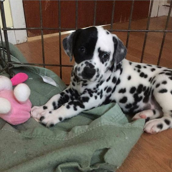 Welcome to Instagram! You'll fit right in. Looking forward to seeing more pictures of you in your new home! Credit to @fitzthedalmatian by dalmatians_of_instagram #lacyandpaws
