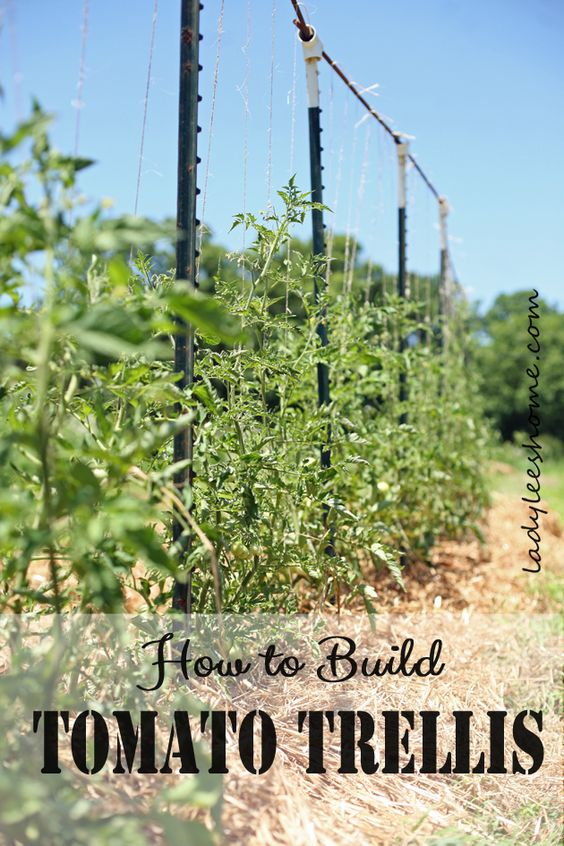Building tomato trellis in the field using t posts, PVC Ts, rebars and twine. Easy to set-up, easy to take down, and easy to store. Here is how to build tomato trellis.