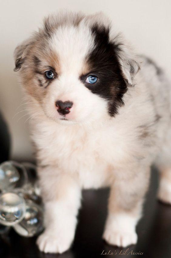 Toys, Australian shepherd and So cute on Pinterest