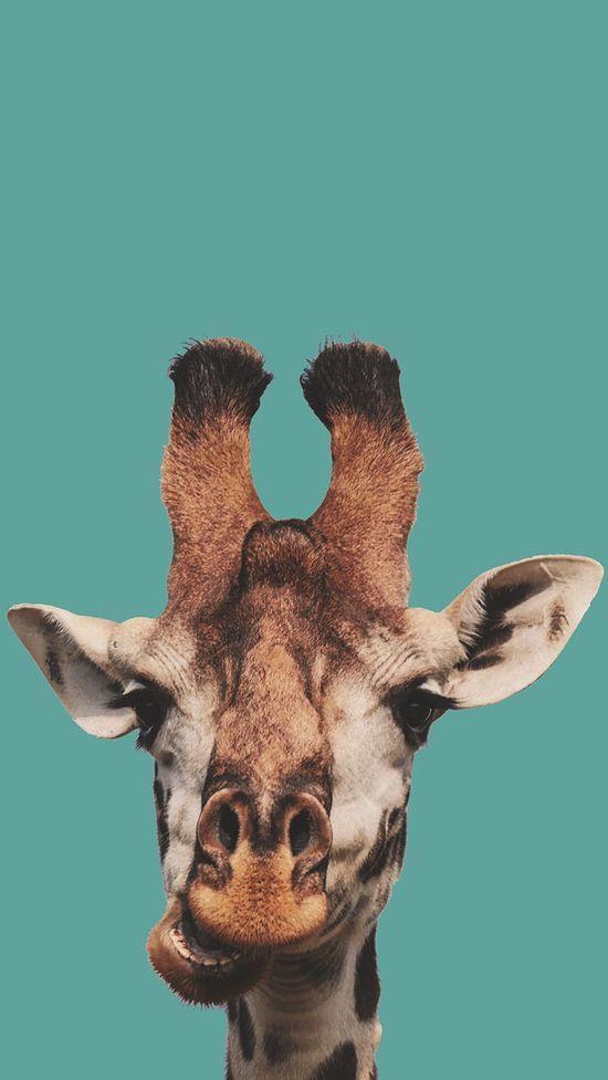 aesthetic macbook wallpaper giraffes endangered