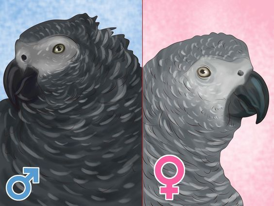 The Difference Between Mal And Femal African Grey In 2020