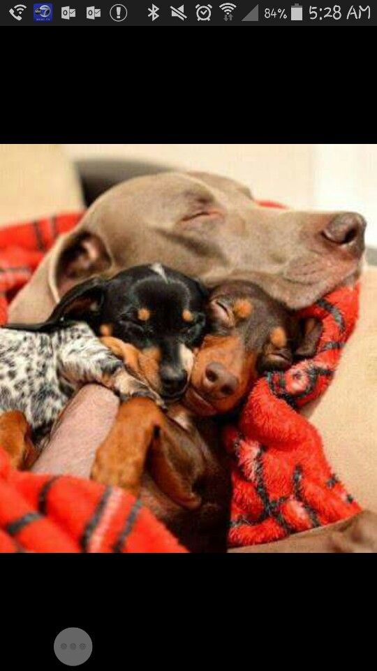 Mushy Mushy Dogs Dachshund What Dogs