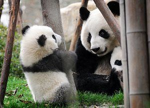 Pandas at play in China - in pictures