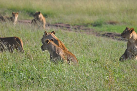 We saw 9 lionesses taking a break near our camp in the Serengeti!