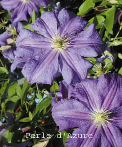 Clematis Perle D'Azure #1 CHOICE June-Sept. 15'. Blooms new wood, prune group C, in Feb