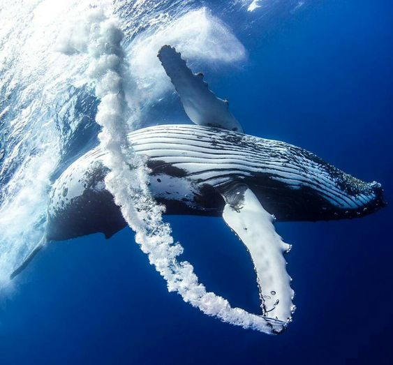 リングで遊ぶクジラ