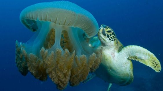 turtle-can-eat-jellyfish-without-any-problem