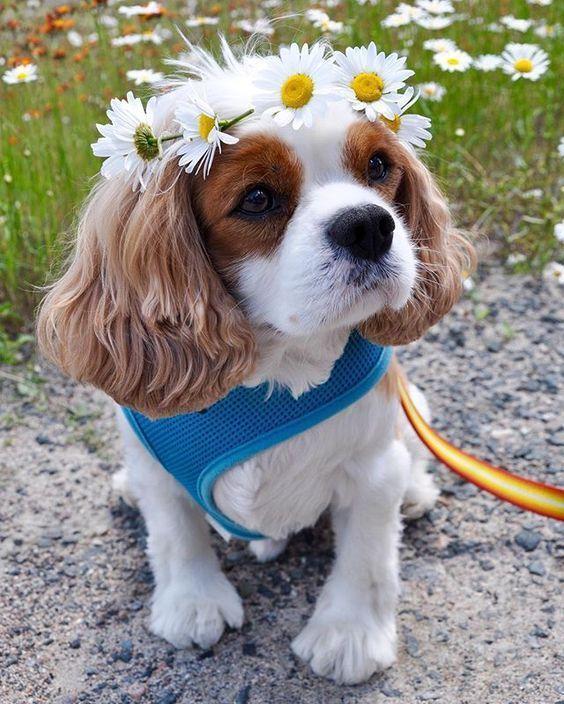 Es Ist Wichtig Hunde Zu Haben Die Nicht Nur Gute Schutzhunde Sind Sondern Hund Fotos Die Fotos Wohnung Hund Cavalier King Charles Spaniel Hunde