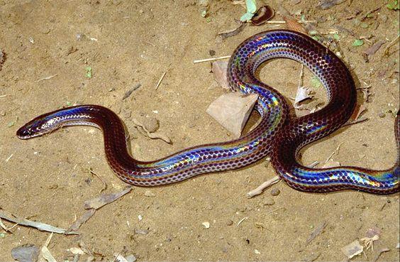 Southeast Asia reptilia chordata Sunbeam Snake