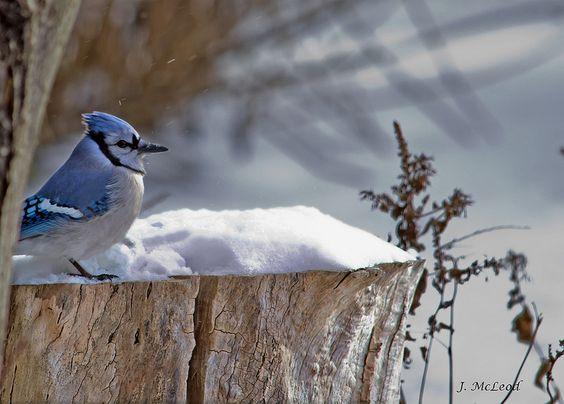 Brave Blue Jay: