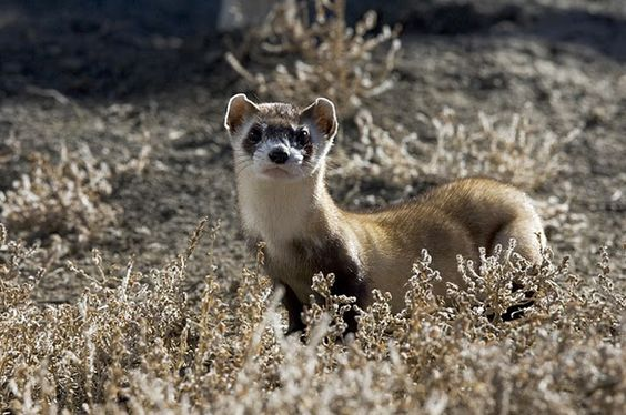 The black-footed ferret lives in South Dakota's Badlands and Wind Cave National Parks. Meet 9 Endangered National Park Animals including the Kemps-ridley sea turtle, Ozark hellbender, sawfish, mist forest stonefly, Sierra Nevada yellow-legged frog, desert pupfish, American pika and Pacific fisher.