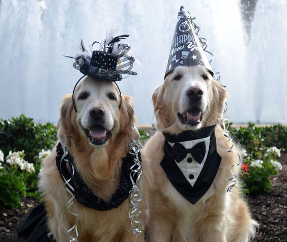 Happy New Year Retriever Puppy Cat Furry Puppies For Sale