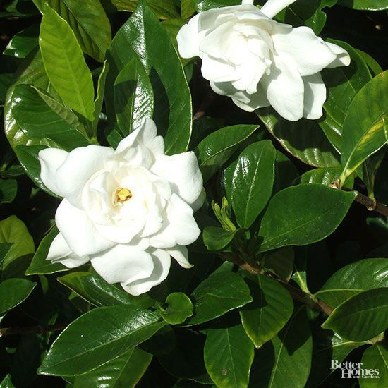 Find Out What Is Causing The Leaves On Your Beautiful Gardenia Plant To Turn Black And What You Can Do To Fix Th Evergreen Shrubs Gardenia Plant Gardenia Trees