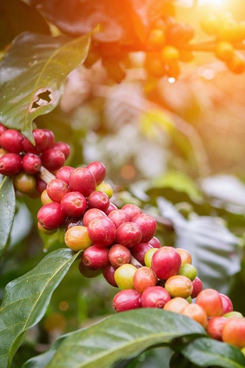 Coffee Fruit Coffee Is The Latest Brain Boosting Drink You Need To Try Purewow Wellness Trends Food Coffee Dr Coffee Health Benefits Fruit Fruit Benefits