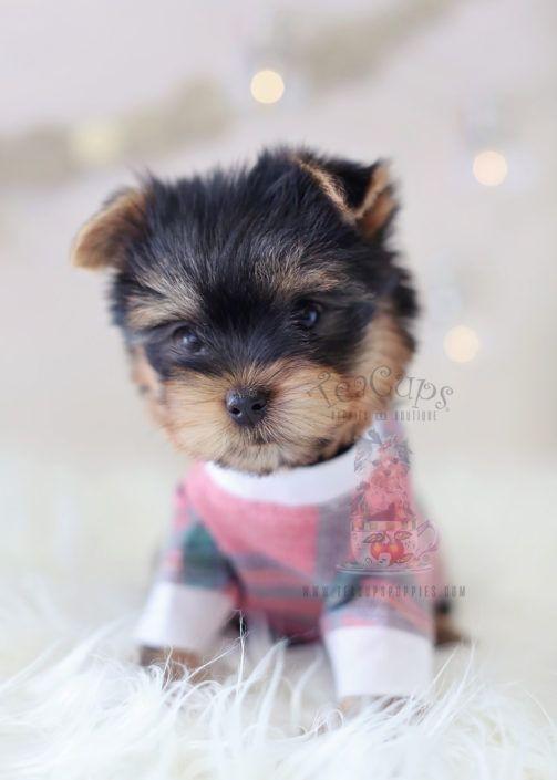 Adorable Yorkie In Christmas Pajamas Www Teacupspuppies Com