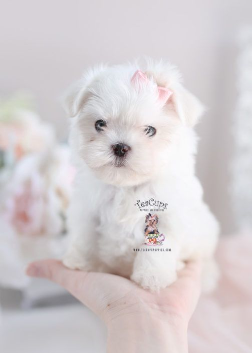 Maltese Puppy Teacup Puppies For Sale 292 Maltese Maltese Puppy Teacup Puppies Puppies