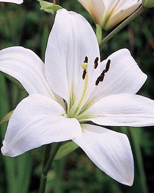 Ich liebe den Duft weißer Lilien. Lange Zeit hab ich mir immer zu Pfingsten ein kleines Sträußchen der feinen Blumen gegönnt - Asiatische Lilie weiß