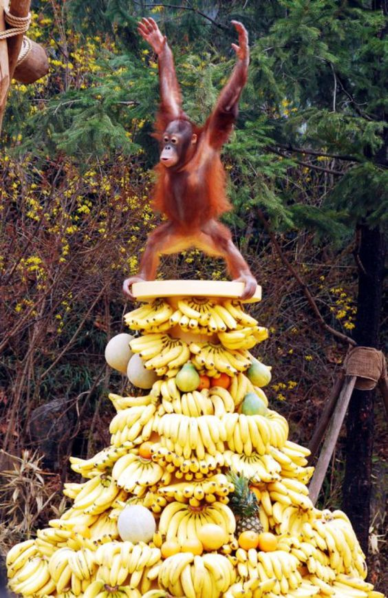 Happiest Orangutan in the World on Tower of Fruit
