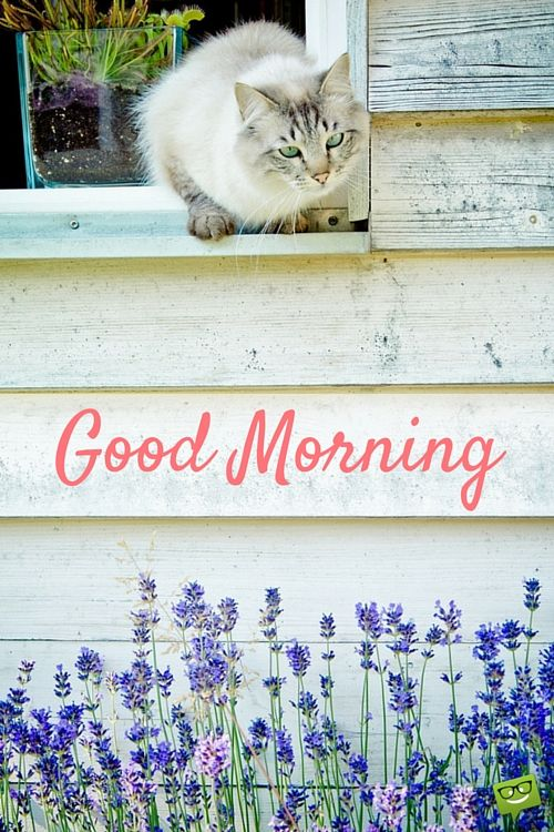 Good Morning image with cat and lavender flowers.: