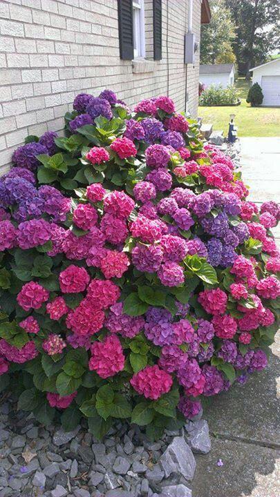 Simbologia da Hortênsia. Hortênsia: Tem flores azuis, brancas ou rosadas. Representa frieza e indiferença, capricho.