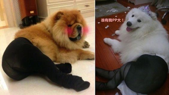 Dogs wear pantyhose