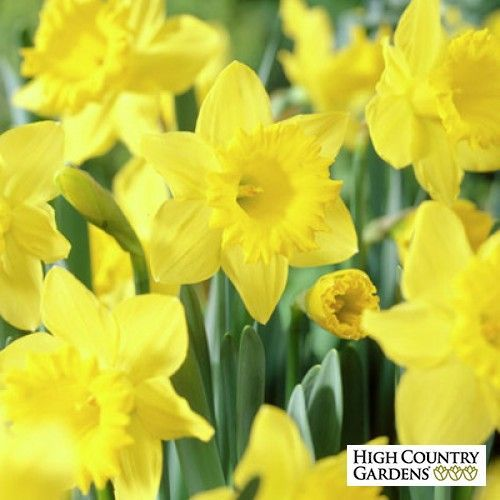 Dutch Trumpet Master A Large Flowering Mid Spring Blooming Daffodil With Pure Yellow Flowers I Want To Add Gr Daffodils Daffodil Bulbs High Country Gardens