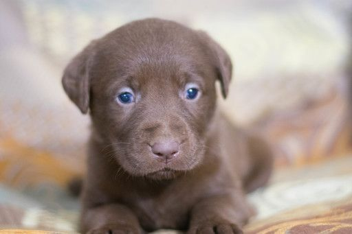 Labrador Retriever Puppy For Sale In Leetonia Oh Adn 68951 On Puppyfinder Com Gender Female Age 6 Wee Labrador Retriever Labrador Labrador Puppy