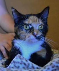 Petfinder Adoptable Cat | Domestic Short Hair | Neenah, WI | Marnie