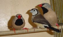 Owl finch breeding tips