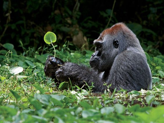 Gorilla with leaf
