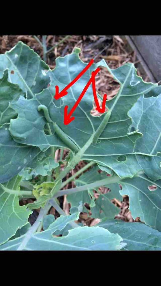 What are these bugs eating my brussel sprouts?