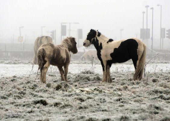 Ponis salvajes Carneddau de Snowdonia, endémicos de las montañas Carneddau, en el Reino Unido