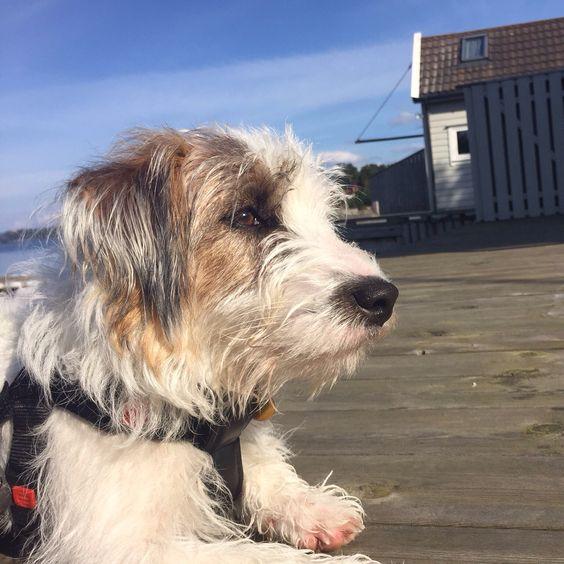 Charlie - Jack Russel Terrier Photo: Karianne Ramstad