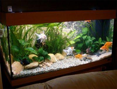 Creating a Fancy Goldfish Setup Juwel Rio 180