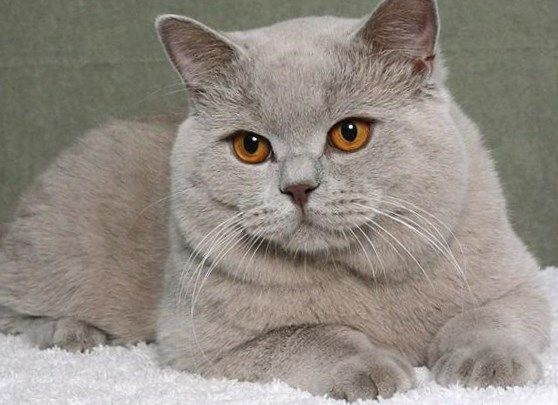 Gato Britanico De Pelo Corto Trendypeinados Trendy2019 Short Hair Cats Cats Animals