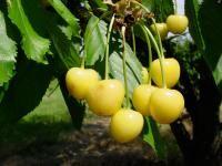 Stark® Gold™ Sweet Cherry from Stark Bro's