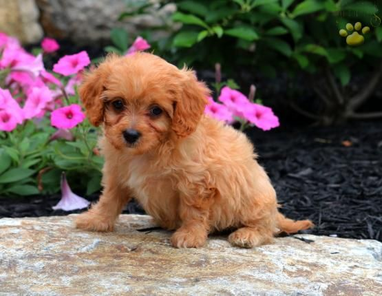 Peaches Cavapoo Puppy For Sale In Gap Pa Lancaster Puppies Cavapoo Puppies Cavapoo Puppies For Sale Puppies For Sale