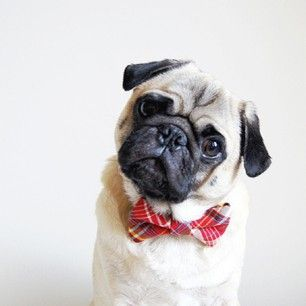 It's not every day you see a pug wearing a bow tie. #NationalDogDay