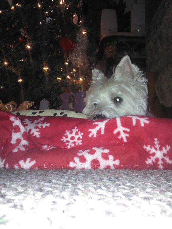 West Highland Terrier  my jeffery d