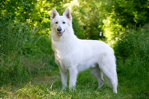 Image Result For White Swiss Shepherd White Shepherd Hunde Schaferhunde