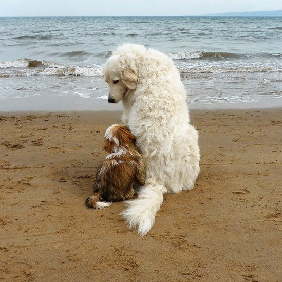 """Roz Phillips: """"While walking with my Maremma sheepdog on Filey beach, Yorkshire, England, we met a shih-tzu pup called Dave! Dave spent a few moments dancing around before finally snuggling up beside her."""""""