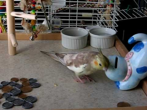 clicker-training birds (playlist)Clicker Training: Kiwi Cockatiel puts money in the bank
