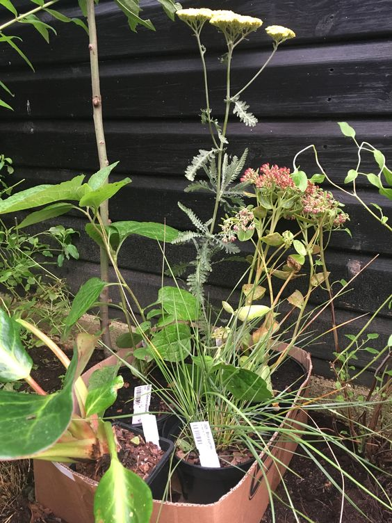 A box of trial plants from Beth Chatto's.  Achillea 'Moonshine', Hylotelephium 'Herbstfreude' (Autumn Joy), Rudbeckia subtomentosa 'Henry Eilers', Stipa gigantea and Bergenia 'Bressingham Salmon'.