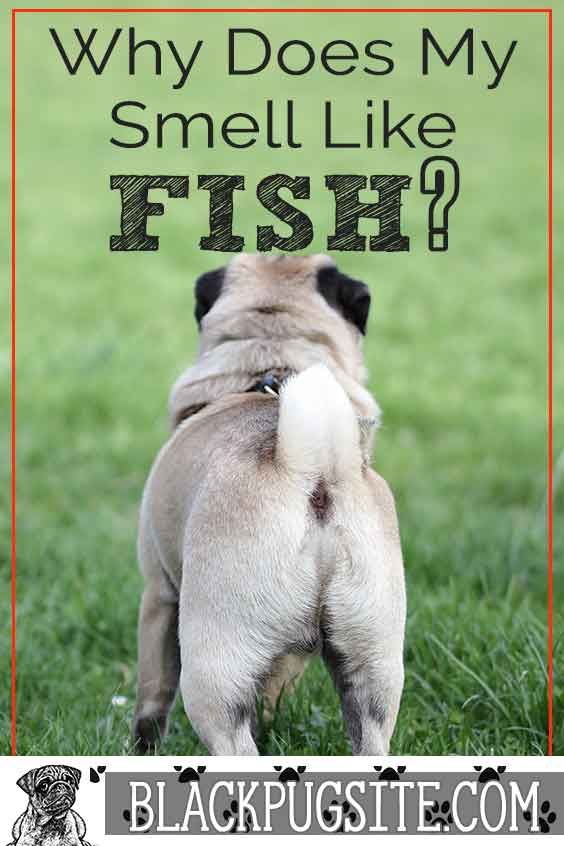 Why Does My Pug Smell Like Fish And How To Get Rid Of It Pugs