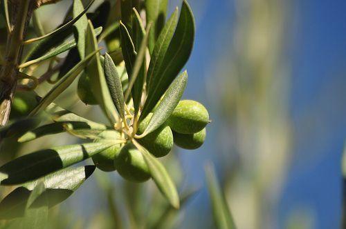 El extracto de hojas de olivo para la prevención del cáncer